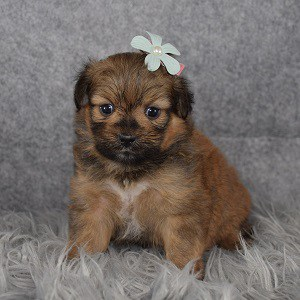 Shih Pom Puppy For Sale – Rylynn, Female – Deposit Only