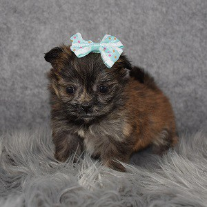 Shih Pom Puppy For Sale – Serafina, Female – Deposit Only