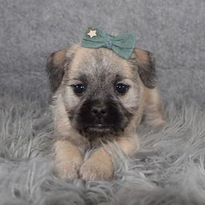 Schnug Puppy For Sale – Sheba, Female – Deposit Only