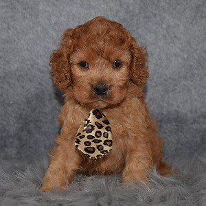 Cockapoo Puppy For Sale – Solo, Male – Deposit Only