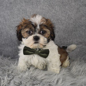 Shih Tzu Puppy For Sale – Topper, Male – Deposit Only