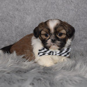 Shih Tzu Puppy For Sale – Watson, Male – Deposit Only