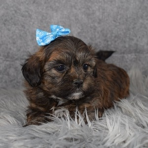 Teddypoo Puppy For Sale – Bianca, Female – Deposit Only