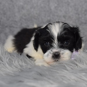 Teddypoo Puppy For Sale – Kye, Male – Deposit Only