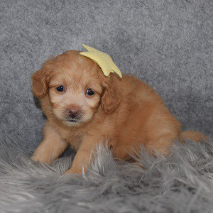 Pomapoo Puppy For Sale – Mackenzie, Female – Deposit Only