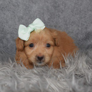 Pomapoo Puppy For Sale – Madisyn, Female – Deposit Only
