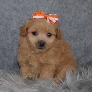 Pomapoo Puppy For Sale – Makayla, Female – Deposit Only
