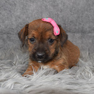 Yorkie Russell Puppy For Sale – Sage, Female – Deposit Only