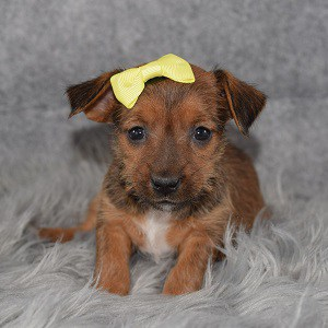 Yorkie Russell Puppy For Sale – Sailor, Female – Deposit Only