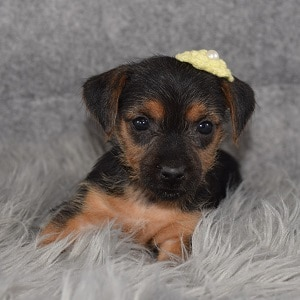 Yorkie Russell Puppy For Sale – Sydney, Female – Deposit Only