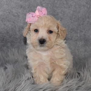 Bichonpoo Puppy For Sale – Adelyn, Female – Deposit Only
