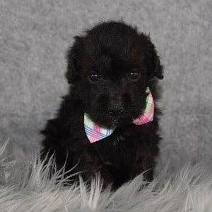 Schnoodle Puppy For Sale – Andy, Male – Deposit Only