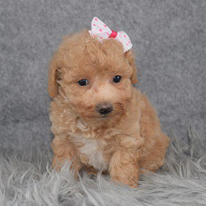 Bichonpoo Puppy For Sale – Chelsea, Female – Deposit Only