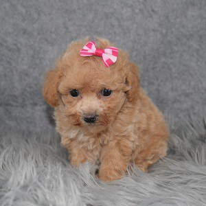 Bichonpoo Puppy For Sale – Chessie, Female – Deposit Only