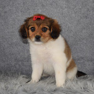 Cavapom Puppy For Sale – Chrysta, Female – Deposit Only