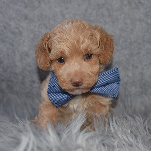 Bichonpoo Puppy For Sale – Finn, Male – Deposit Only