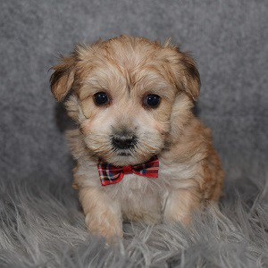 Yorkichon Puppy For Sale – Harper, Male – Deposit Only