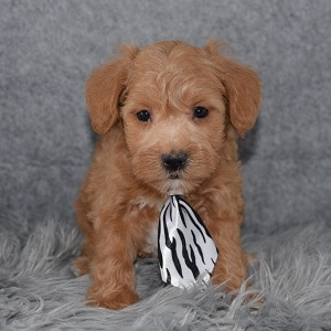 Schnoodle Puppy For Sale – Jam, Male – Deposit Only