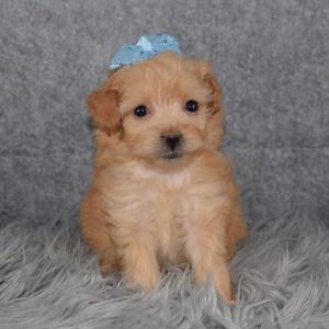 Pomapoo Puppy For Sale – Jaxie, Female – Deposit Only