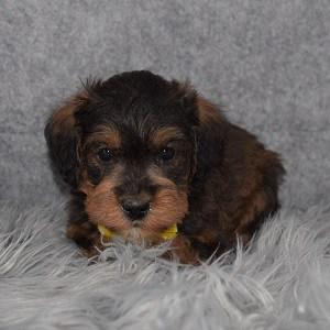 Schnoodle Puppy For Sale – Jelly, Male – Deposit Only