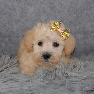 Schnoodle Puppy For Sale – Marmalade, Female – Deposit Only