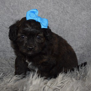 Pomapoo Puppy For Sale – Serena, Female – Deposit Only