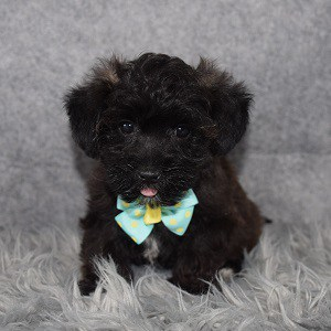 Yorkichon Puppy For Sale – Warner, Male – Deposit Only