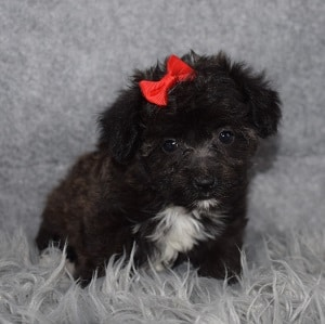 Yorkichon Puppy For Sale – Waverly, Female – Deposit Only