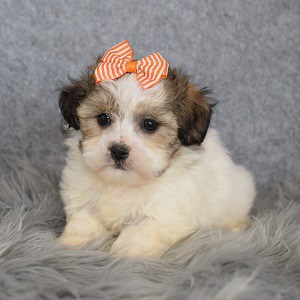 Shichon Puppy For Sale – Blanche, Female – Deposit Only