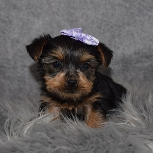 Yorkie Puppy For Sale – Delilah, Female – Deposit Only