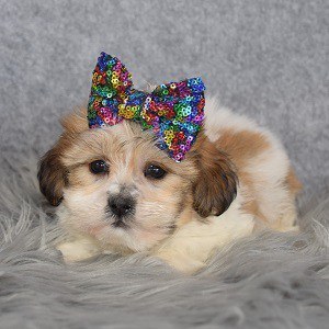 Shichon Puppy For Sale – Dorothy, Female – Deposit Only
