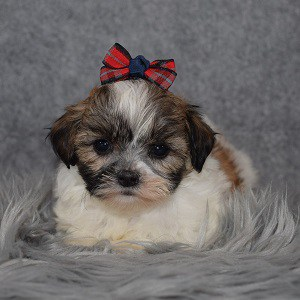 Shichon Puppy For Sale – Lavender, Female – Deposit Only