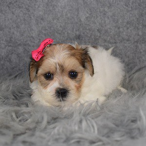 Shichon Puppy For Sale – Lindsey, Female – Deposit Only