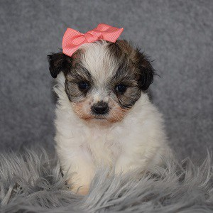 Shichon Puppy For Sale – Magenta, Female – Deposit Only