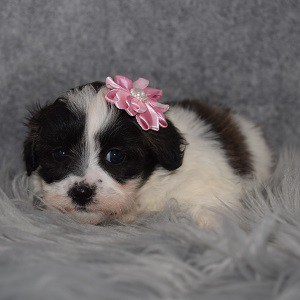 Shichon Puppy For Sale – Paisley, Female – Deposit Only