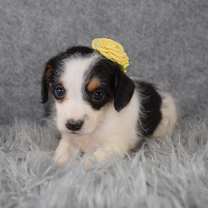 Jackapoo Puppy For Sale – Pepper, Female – Deposit Only