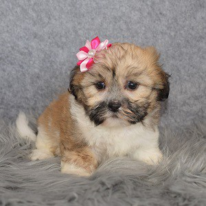 Shichon Puppy For Sale – Rose, Female – Deposit Only