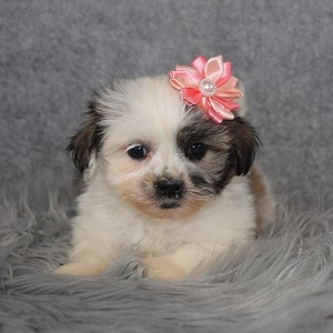 Shichon Puppy For Sale – Scarlet, Female – Deposit Only