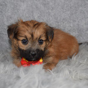 TeddyPom Puppy For Sale – Tate, Male – Deposit Only