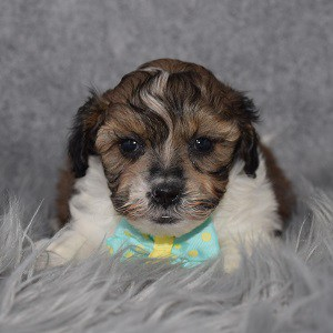 Shihpoo Puppy For Sale – Berkeley, Male – Deposit Only