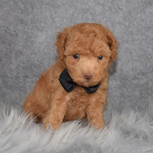 Poodle Puppy For Sale – Claus, Male – Deposit Only
