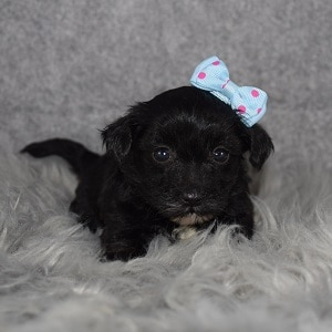 Yorkichon Puppy For Sale – Michaela, Female – Deposit Only