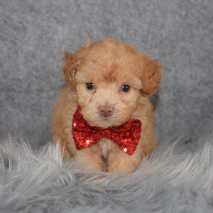 Poodle Puppy For Sale – Santa, Male – Deposit Only