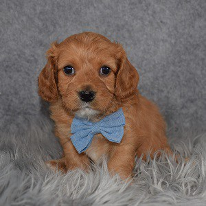 Cavapoo Puppy For Sale – Dusty, Male – Deposit Only