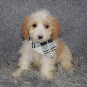 Cavapoo Puppy For Sale – Patch, Male – Deposit Only