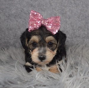 Yorkiepoo Puppy For Sale – Patience, Female – Deposit Only