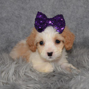 Cavapoo Puppy For Sale – Patty, Female – Deposit Only