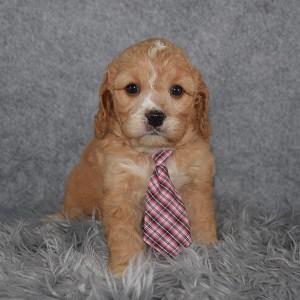 Cavapoo Puppy For Sale – Rafferty, Male – Deposit Only