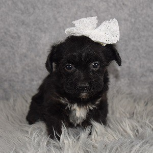 Yorkiepoo Puppy For Sale – Thankful, Female – Deposit Only