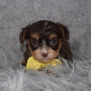 Yorkiepoo Puppy For Sale – Jasper, Male – Deposit Only